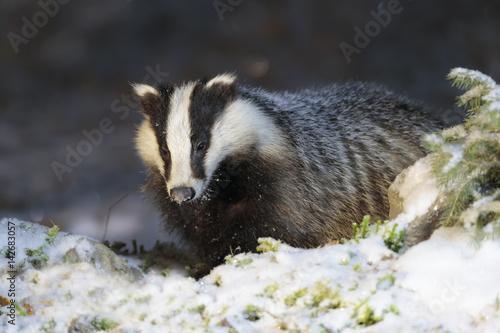 Badger 029 Canvas-taulu
