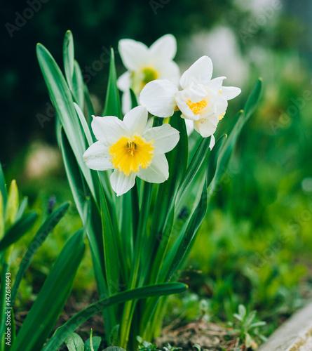 Papiers peints Narcisse narcissus spring flowers
