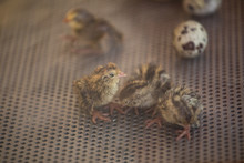 Baby Quail Close-up In An Incubator. Cancun, Mexico.