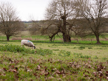 A Single Sheep Eating In The Field On Its Own