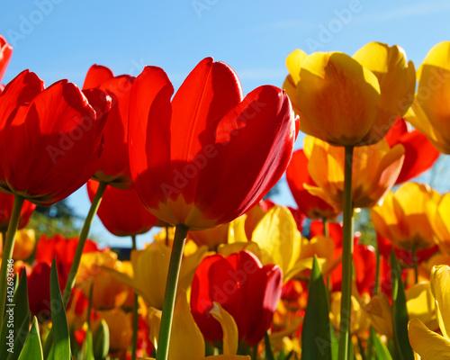 Plakat Tulipany czerwone i żółte