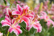 Pink Asiatic Lily Flower In Th...