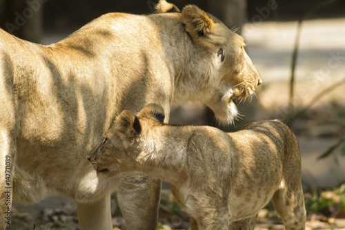 Fotografia  With a similar environment to Africa, Thailand easily become a new home for this lion family with only little change in their habitats