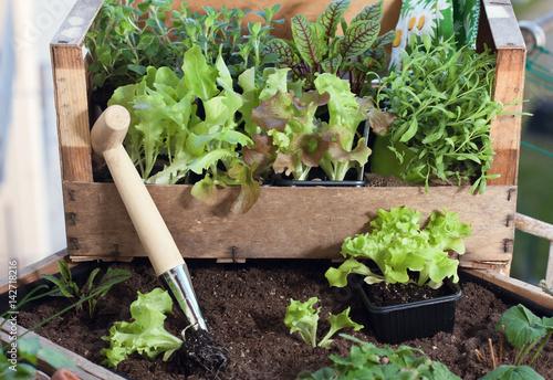 Pflucksalat Und Krauter Im Hochbeet Am Balkon Anpflanzen Kaufen