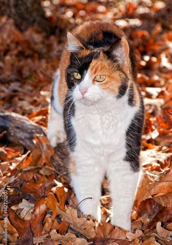 Fotografía  Beautiful calico cat in autumn leaves, back lit by beam of sunlight
