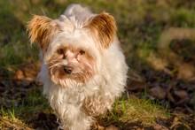 Yorkshir Terrier