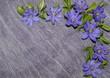 Floral pattern corner - flowers of liverwort (Anemone hepatica)