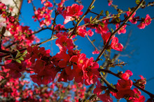 Blooming Japanese Quince