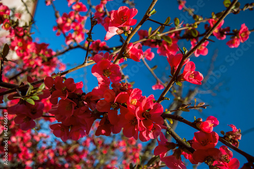 Blooming Japanese quince Poster Mural XXL
