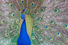 Indian Peacock Displays Its Tr...