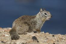California Ground Squirrel - S...