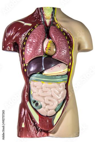 anatomia-czlowieka