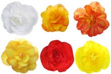 Begonia Flower Set