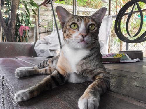 Deurstickers Ezel cat thai nature, lovely pet