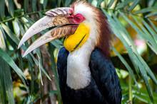 Close Up Of Wreathed Hornbill  (Aceros Undulatus)