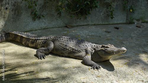 Printed kitchen splashbacks Crocodile Close-up of a crocodile lies in the shade.