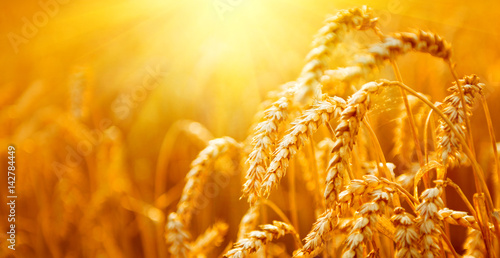 Ingelijste posters Cultuur Wheat field. Ears of golden wheat closeup. Harvest concept