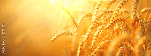 Poster Culture Wheat field. Ears of golden wheat closeup. Harvest concept