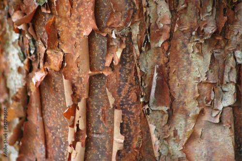 Paperbark Maple Bark Texture Canvas Print
