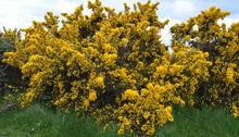 English Coastal Shrub - Yellow Flowering Gorse