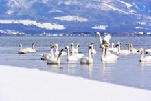 猪苗代湖の白鳥の群れ