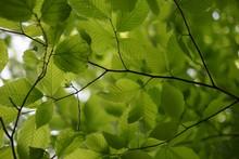 Fresh Alder Leaf Background, V...