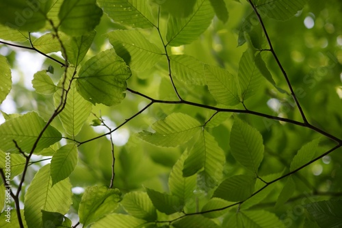 Photo Fresh alder leaf background, view from below the tree