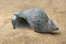 Empty Blue Whelk Shell On Beach Sand