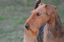 Gorgeous Airedale Terrier Dog