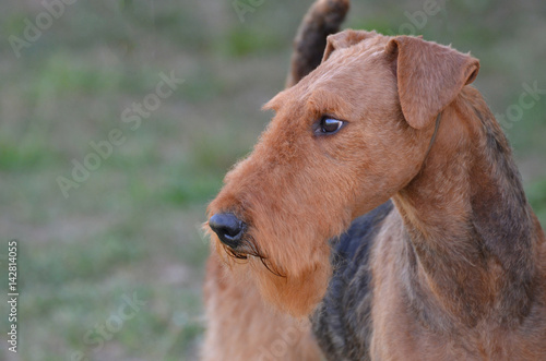 Gorgeous Airedale Terrier Dog Canvas Print