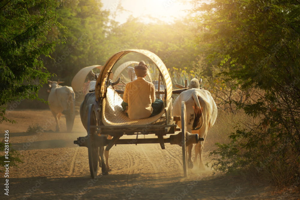 Fototapeta Back side of Burmese rural transportation with two white oxen pulling wooden cart on dusty road on the Bagan pagodas field background on during sunet ,vintage styel , Myanmar