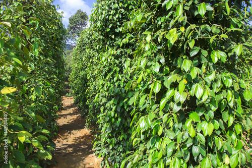 Cuadros en Lienzo  Pepper tree garden in the sunlight on Phu Quoc island, Vietnam
