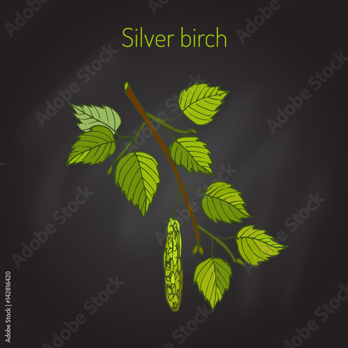Fototapeta Silver birch branch with leaves