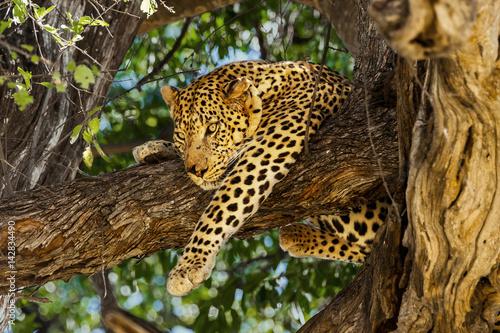 Deurstickers Luipaard Leopard in tree. Okavango delta, Moremi game reserve, Botswana
