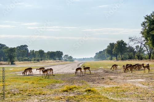 Impala herd grazing near Xakanaxa airstrip in Moremi game reserve national park Wallpaper Mural