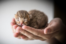 Small Kitten In Human Hands