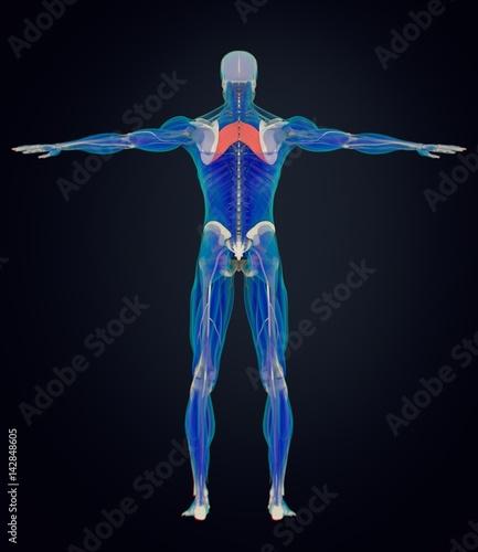 Fotografie, Tablou  Anatomy muscle body