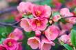 Pink flowers blooming in springtime. Macro scene of blooming pink tree against green leaves background.