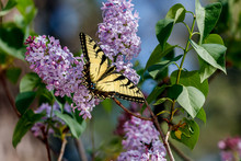 Yellow And Black Butterfly On Flowers.