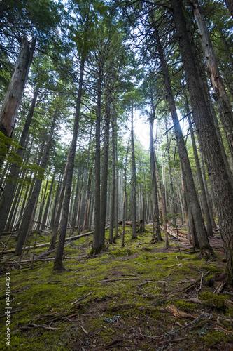 Fotografia, Obraz  Grove of trees in National Forest, Glacier National Park, Montana