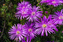 Purple Iceplant Flower