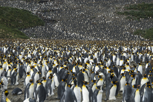 Photo sur Toile Pingouin King penguins colony at South Georgia