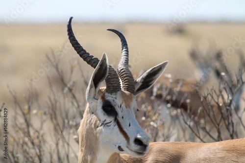 Canvas Prints Antelope Gazelle