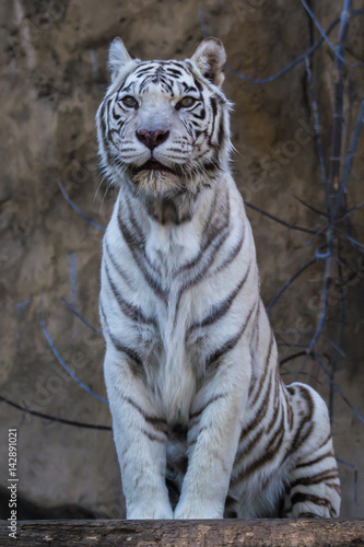 Foto auf AluDibond Tiger White tiger - Bengal tiger species with a congenital mutation. The mutation leads to a fully white color of the tiger with black and brown stripes on white fur and blue eyes.