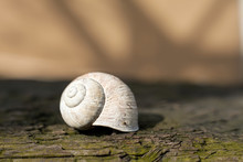 Empty Snail Shell. Calcified R...