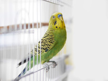 Green Wavy Parrot Is Sitting O...