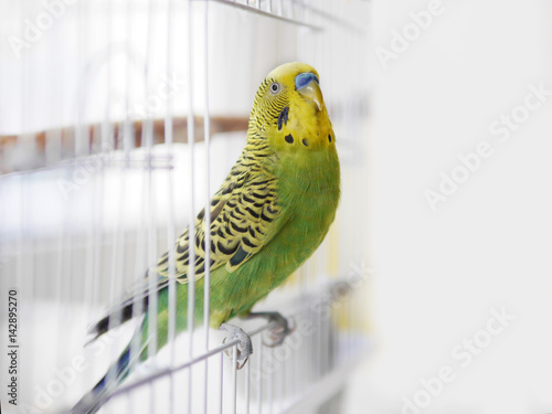 Fotografie, Obraz  Green wavy parrot is sitting on a white cage