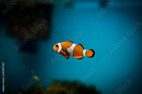 Plakat  Clown fish in the aquarium