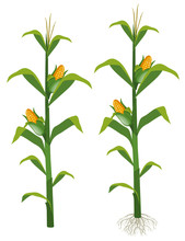 Corns On The Corn Trees