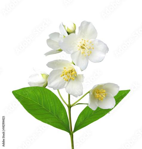 Photo  White flower (jasmine) isolated on white background.